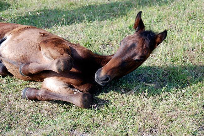 Köp en frisk häst istället för att avla.